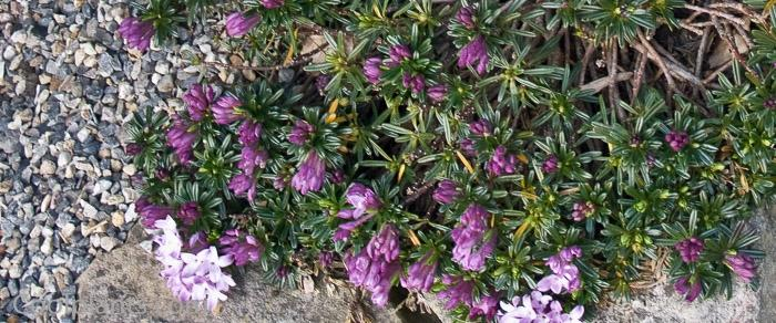 Daphne arbuscula plant