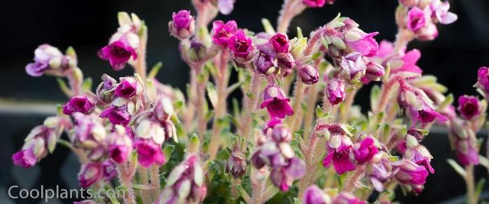 Saxifraga 'Grace Farwell' plant