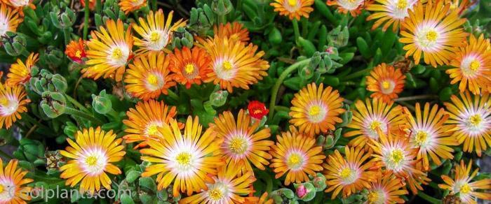 Delosperma 'Jewel of Desert Topaz' plant