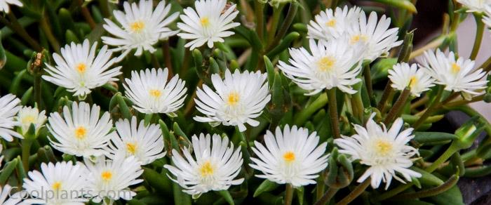 Delosperma 'Jewel of Desert Moon Stone' plant