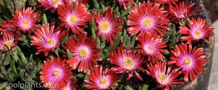 Delosperma 'Jewel of Desert Garnet' plant