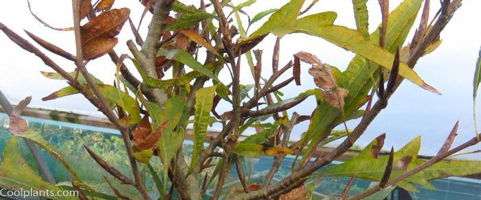 Fagus sylvatica 'Mercedes' plant