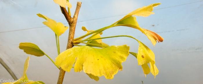 Ginkgo biloba 'Simon' plant