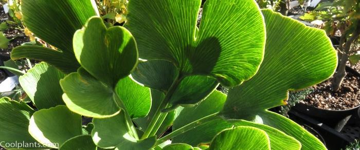 Ginkgo biloba 'Jade Butterfly' plant