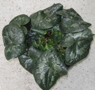 Asarum maximum 'Giant' plant