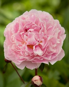 Paeonia (LD) 'Sarah Bernhardt' plant