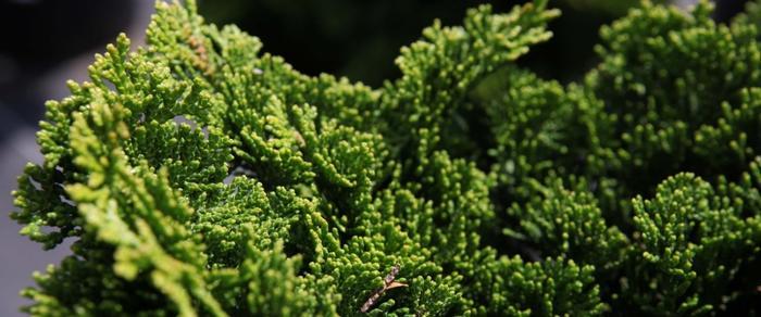 Chamaecyparis obt. 'Nana Gracilis' plant