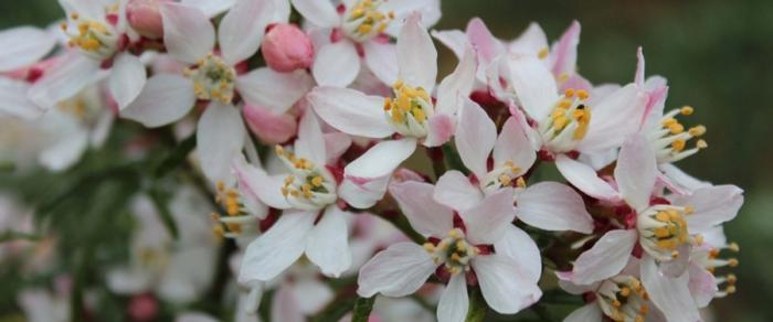 Choisya ternata 'Apple Blossom' plant
