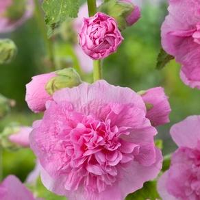 Alcea rosea 'Pleniflora Pink' plant
