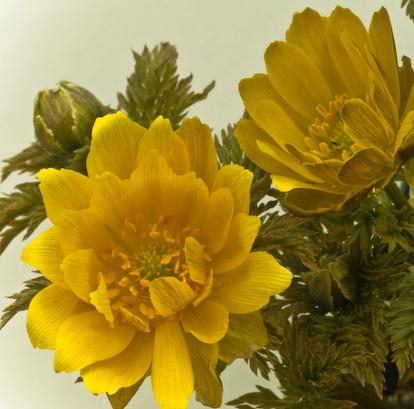Adonis amurensis plant