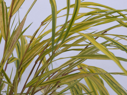 Hakonechloa macra 'Naomi' plant