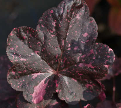 Heuchera 'Midnight Rose' plant