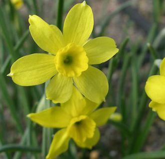 Narcissus assoanus plant
