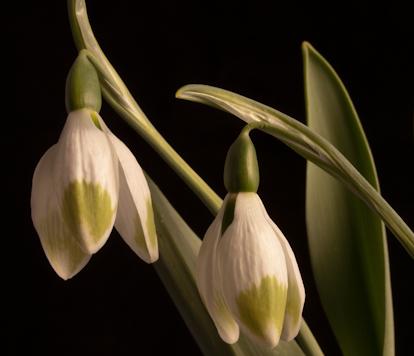 Galanthus elwesii 'Green Brush' plant