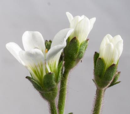 Saxifraga granulata plant