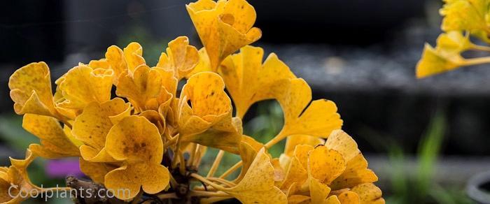 Ginkgo biloba 'Mariken' plant