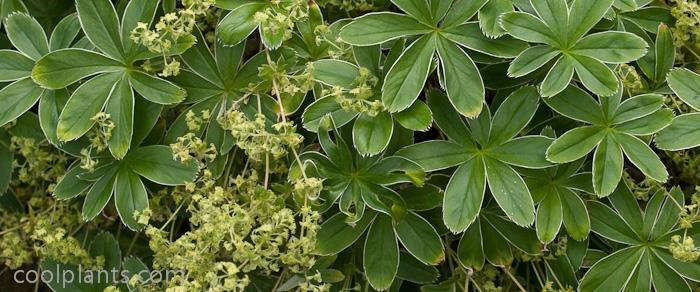 Alchemilla alpina plant