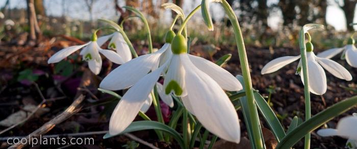 Galanthus 'Bill Bishop' plant