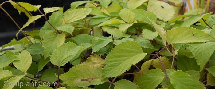 Aralia cordata 'Sun King' plant