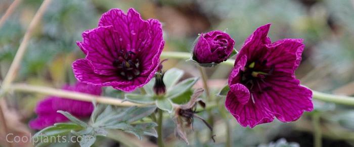 Geranium cinereum 'Purple Pillow' plant