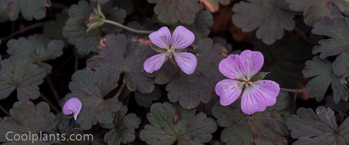 Geranium 'Bob's Blunder' plant