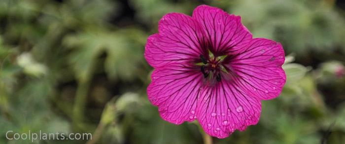 Geranium 'Carol' plant