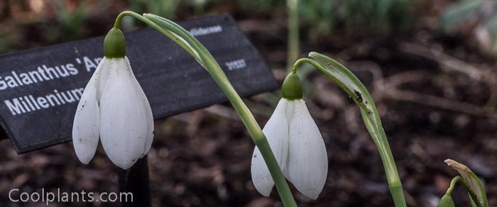 Galanthus 'Anne's Millenium Giant' plant