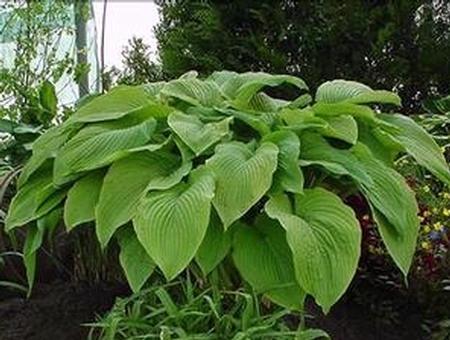 Hosta 'Green Acres' plant