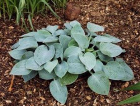 Hosta 'Camelot' plant