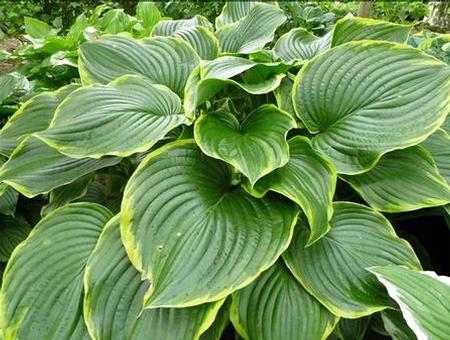 Hosta 'Leading Lady' plant