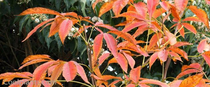 Aesculus x mutabilis 'Induta' plant