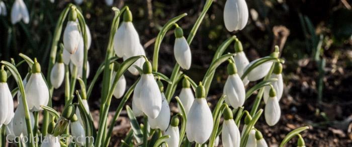 Galanthus 'Snowwhite' plant