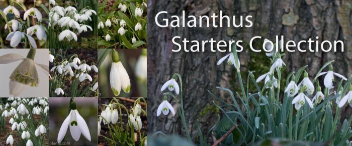 Galanthus Starters Collection plant