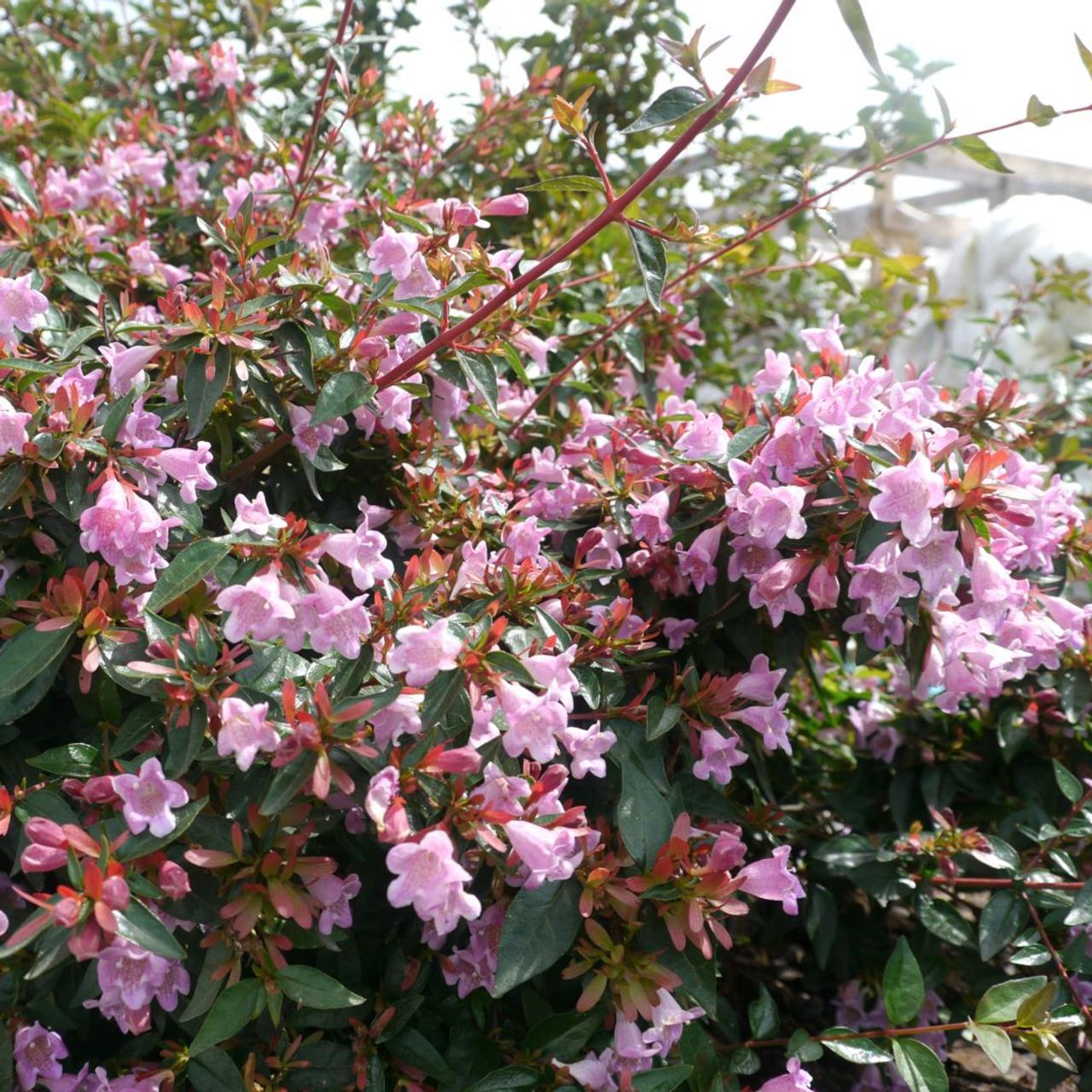 Abelia 'Edward Goucher' plant