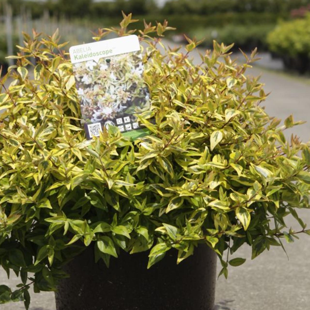 Abelia 'Kaleidoscope' plant