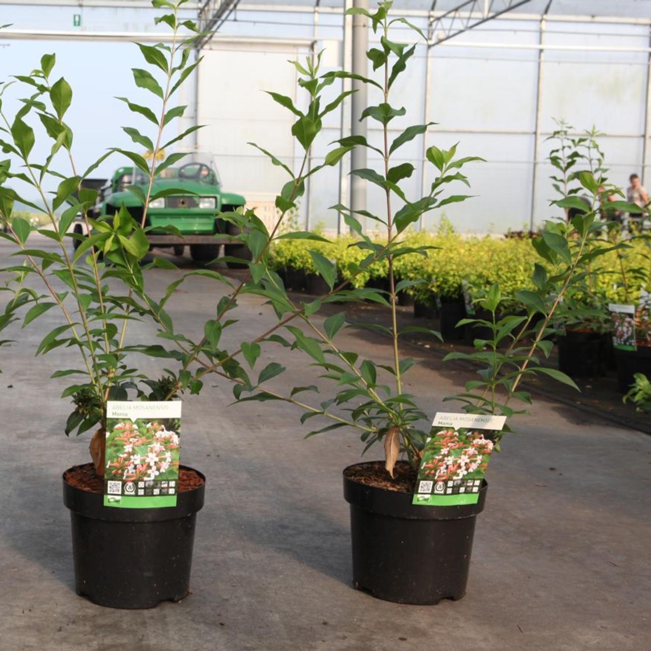 Abelia mosanensis 'Monia' plant