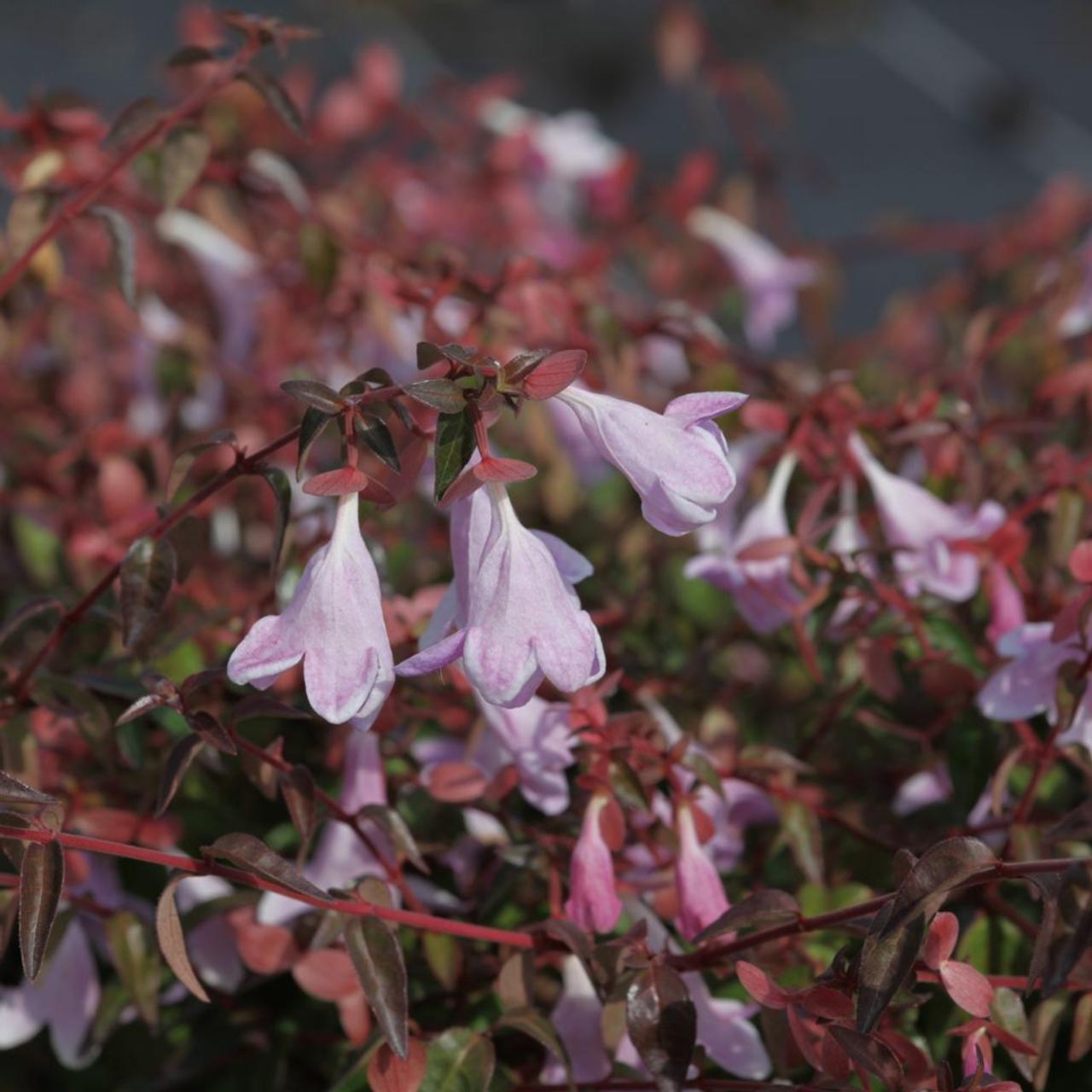 Abelia 'Pinky Bells' plant