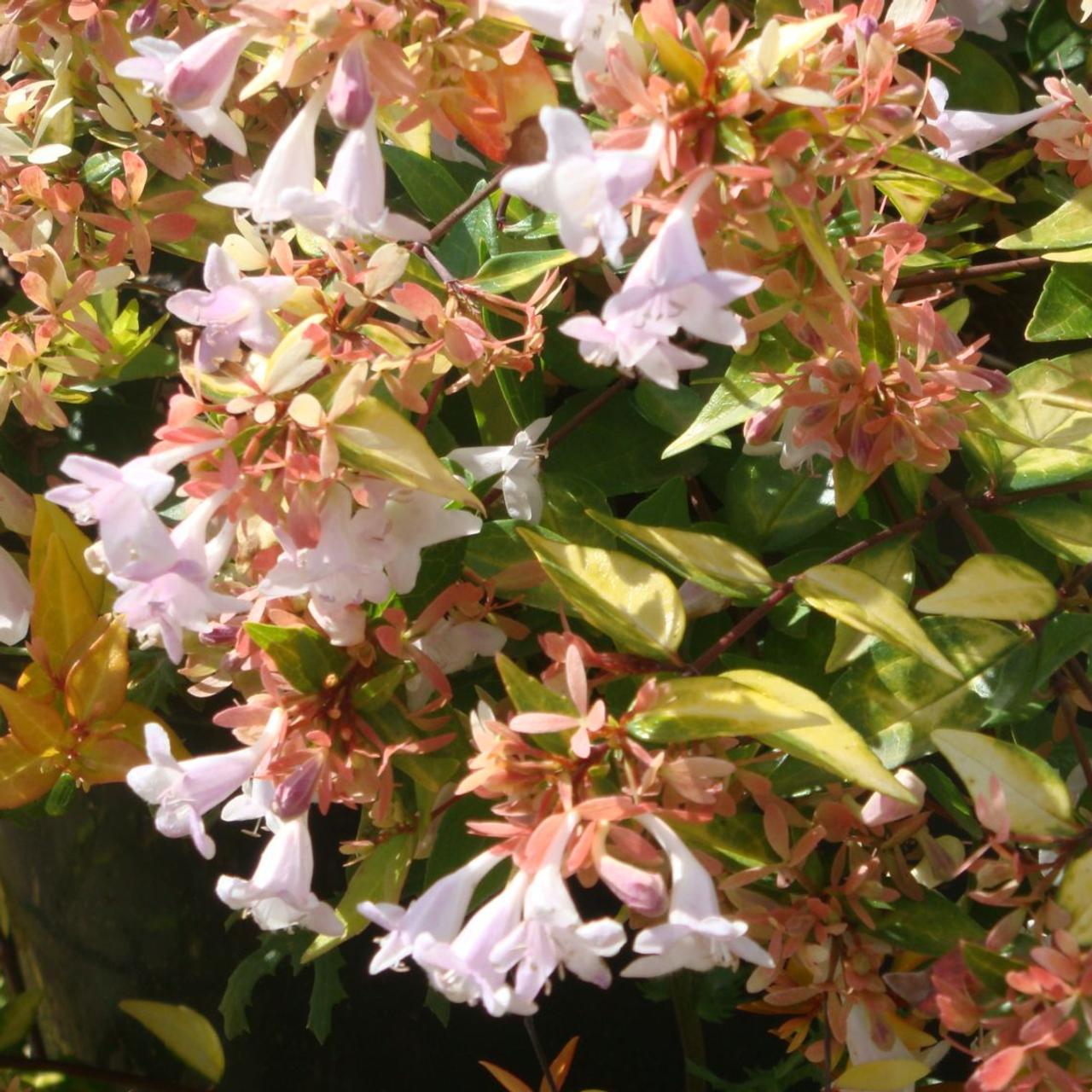 Abelia x grandiflora 'Francis Mason' plant
