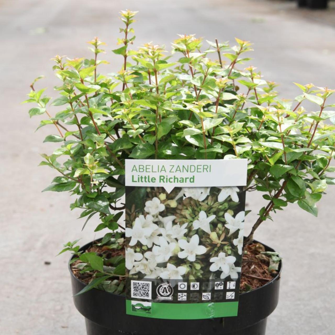 Abelia zanderi 'Little Richard' plant