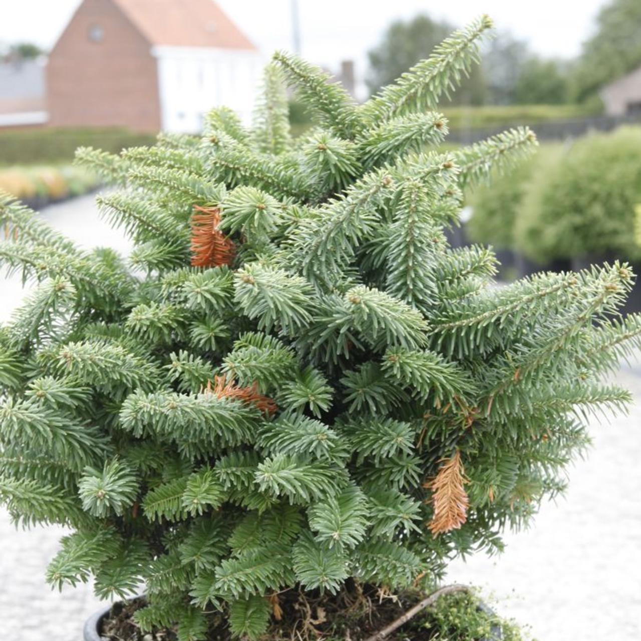 Abies balsamea 'Nana' plant