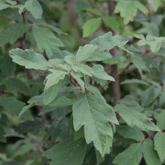 Acer griseum plant