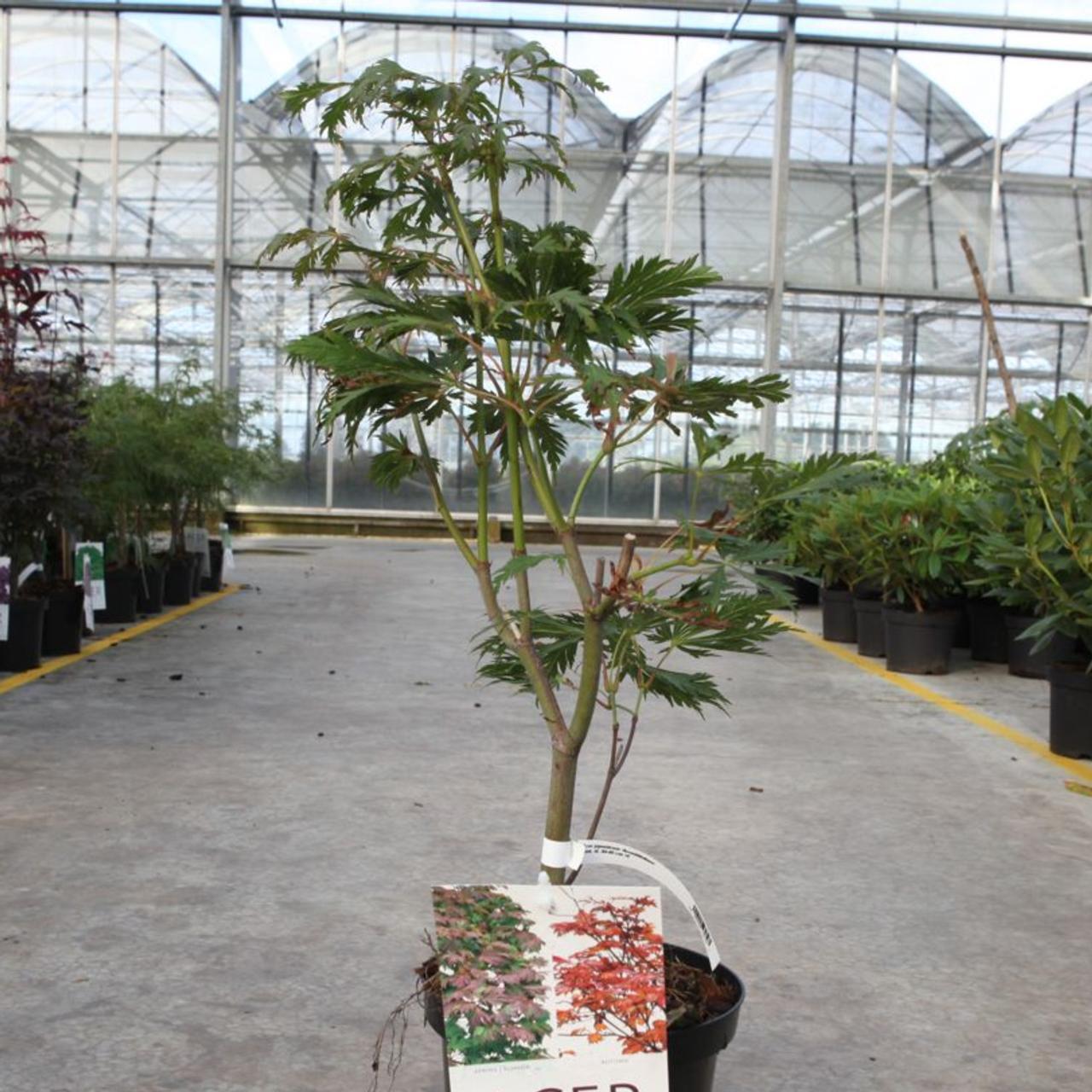 Acer japonicum 'Aconitifolium' plant