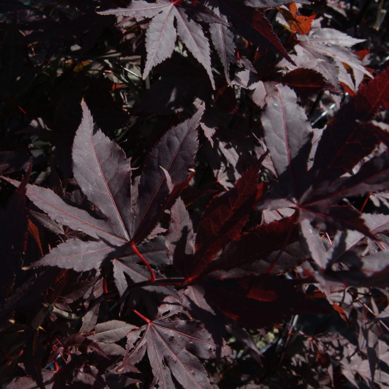 Acer palmatum 'Atropurpureum' plant