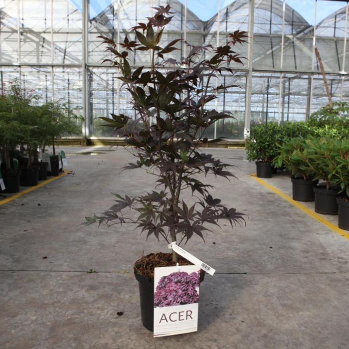 Acer palmatum 'Bloodgood' plant