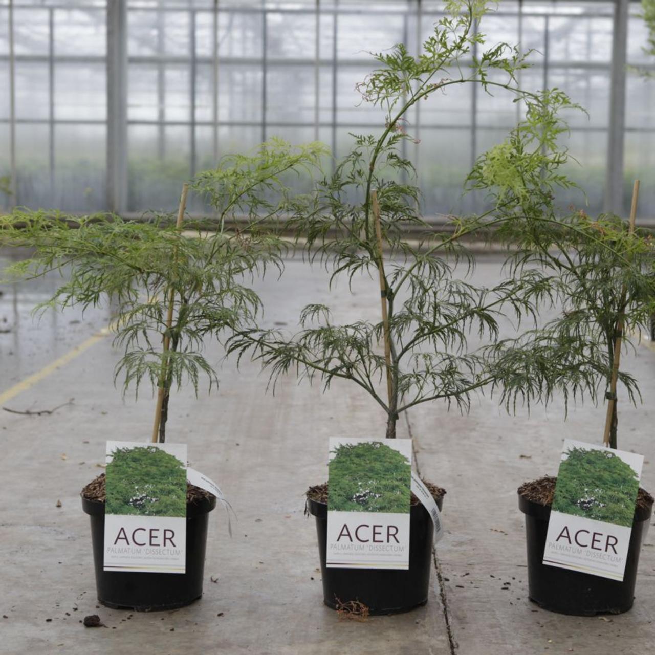 Acer palmatum 'Dissectum' plant
