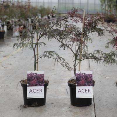 acer-palmatum-inabashidare