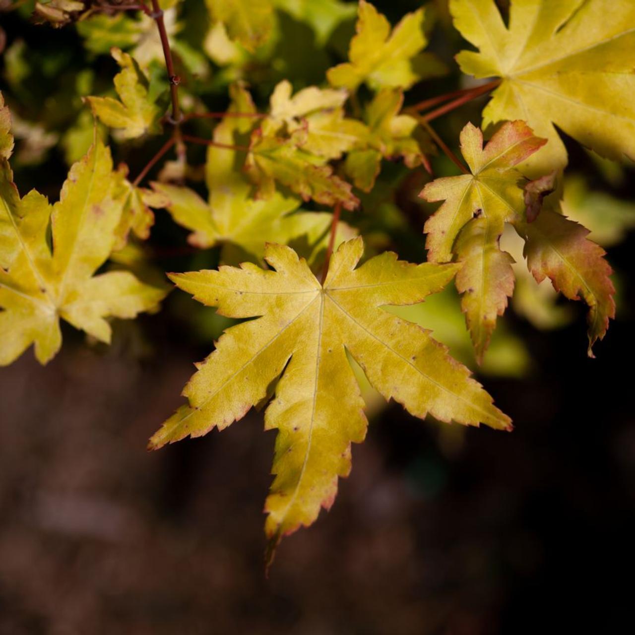 Acer palmatum 'Orange Dream' plant