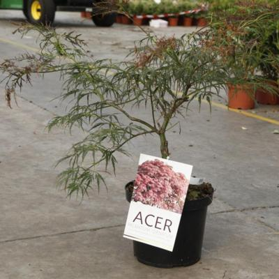 acer-palmatum-ornatum