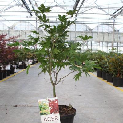 acer-palmatum-osakazuki