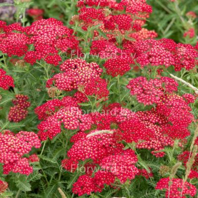 achillea-millefolium-red-velvet